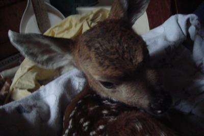 Fawn in blankets