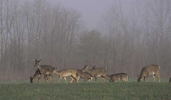 Herd of whitetails eating